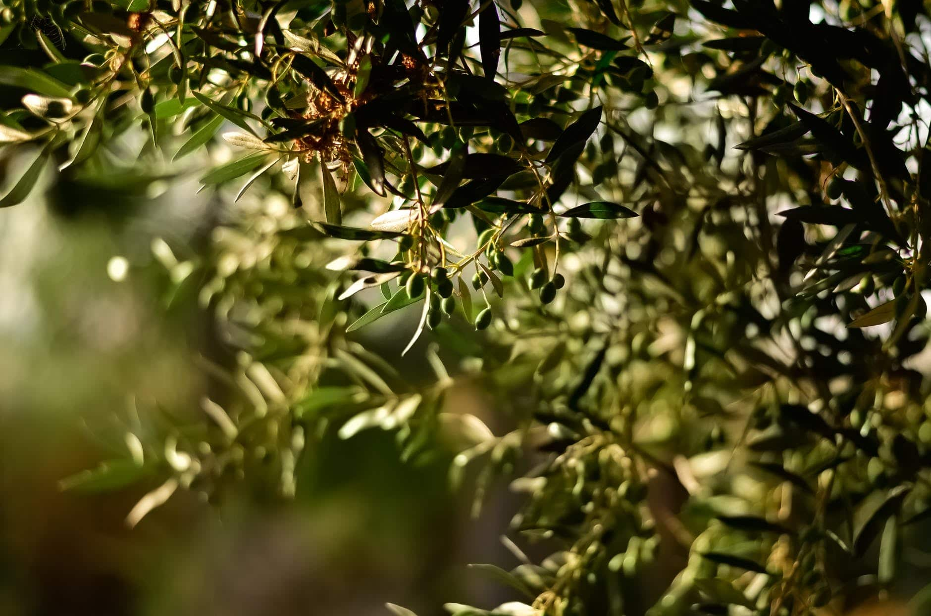 producteur d'huile d'olive